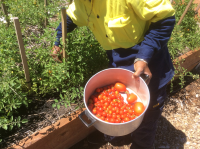 Food_Pantry_tomatoes_1